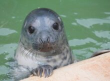 Janice, one of the gray seals trained in the study. After a year of working with the researchers, Janice (as well as the other two seals, Zola and Gandalf) was released to the wild. Image Credit: Courtesy of Amanda Stansbury, El Paso Zoo (formerly University of St. Andrews)